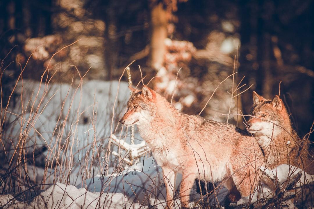 beierse woud - duitsland - wolven