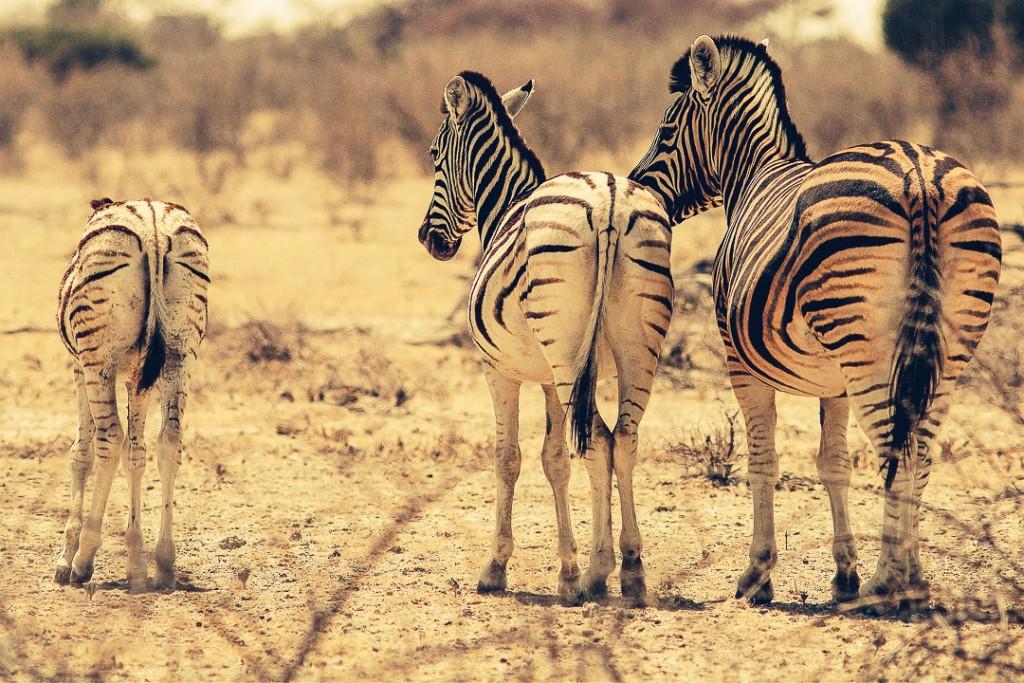 Namibië - Afrika - zebra - reisjournaal 2007 - Jannekes wereld - reizen