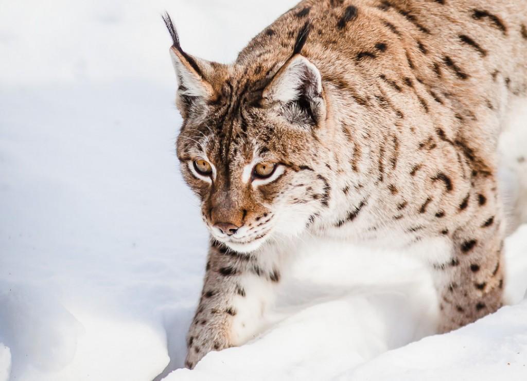 Beieren - Duitsland - lynx